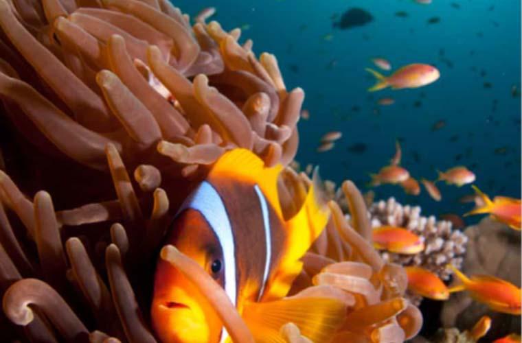 Underwater Experience Clown Fish Red Sea Eilat
